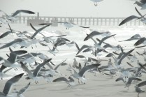 Suddenly, the flock explodes into flight on feet in front of me.