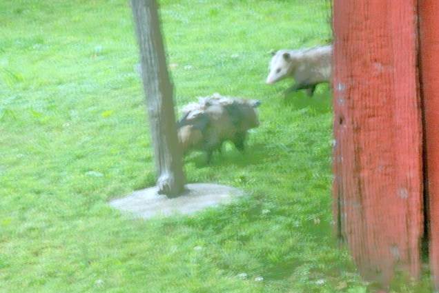 """Two possums out for a walk. Photo taken through a window with a hand-held long lens. The """"lumps"""" on the back of the nearest possum are the babies."""