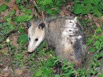 Mama Possum kept a sharp eye on me as I approached for photos.