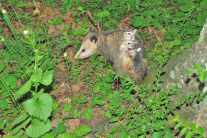 Life as a baby possum is not easy--to fall off is to be left behind.