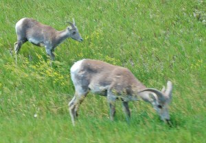 A small group of Bighorn sheep ewes and juvenile grazed peacefully as we drove by. There no Rams in this group.