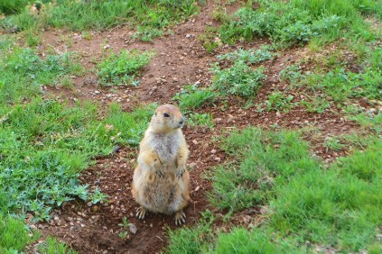 One eager prairie dog has his position at the edge of the parking area.