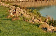 A small flock of geese and goslings graze along the edge of the lake.