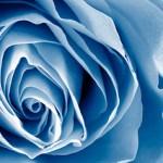 blue-rose_2