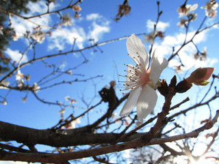 cherry-blossom-fuyuzakura