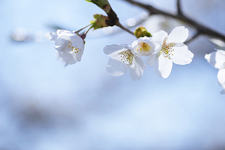 cherry-blossom-someiyoshino