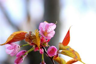 cherry-blossom-yamazakura