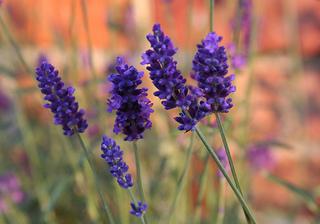 lavender_2