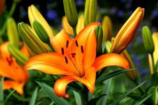 百合(ユリ)の花言葉(季節、画像、英語・西洋の花言葉) | e恋愛名言集