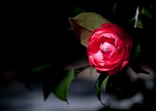 red-camellia