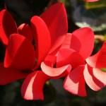 red-cyclamen