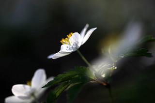 white-anemone