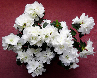 white-azalea