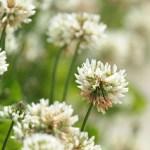 white-clover