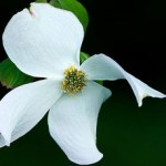 white-dogwood