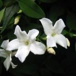 white-jasmine