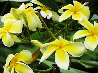 yellow-plumeria