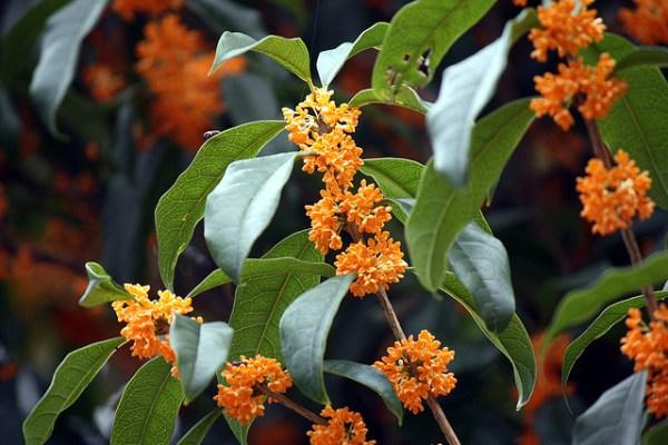 fragrant-olive