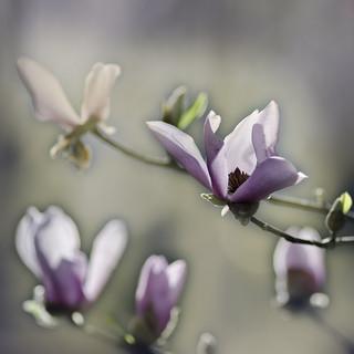 magnolia_3