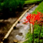 red-spider-lily