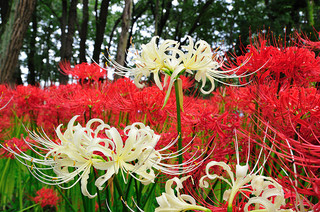 red-spider-lily_2