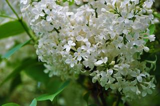 white-lilac