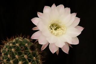 cactus_4