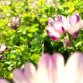 chinese-milk-vetch