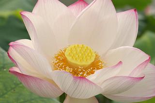 lotus_2