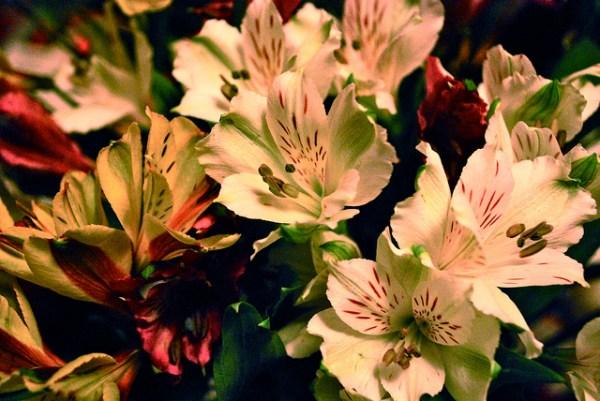 アルストロメリアの花言葉