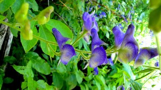 monkshood_3