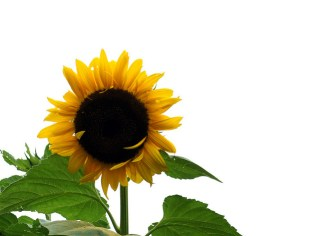 sunflower_3