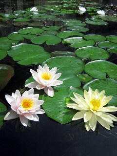 water-lily_3