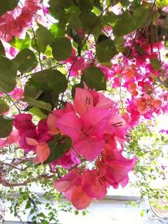 ピンクのブーゲンビリア