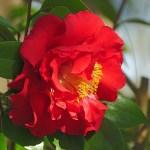 赤いサザンカ、sasanqua_red