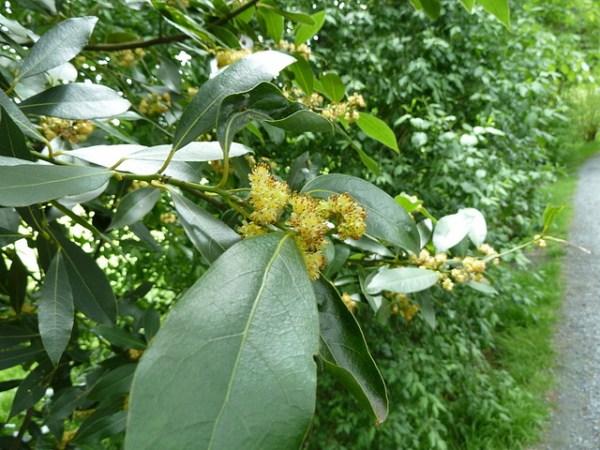 月桂樹の花言葉