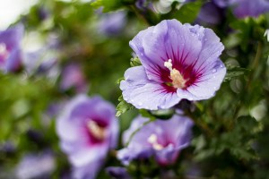 Rose of Sharon-03
