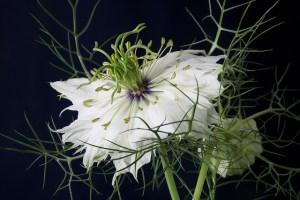 ニゲラの花言葉