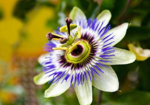 Passion flower-01