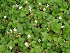 ワイルドストロベリーの花言葉