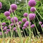 Allium-01
