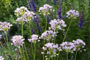 Allium-03
