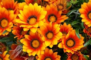 ガザニアの花言葉