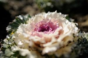 Flowering-kale-02