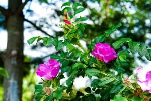 ハマナスの花言葉