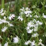 White egret flower-01