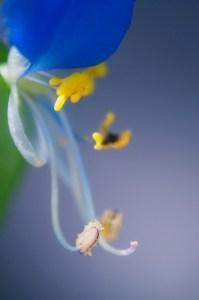 Dayflower-02