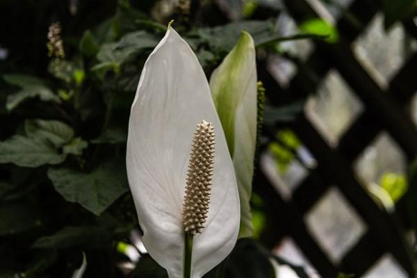 スパティフィラムの花言葉