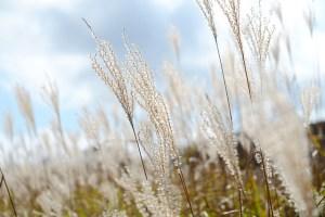 Silver grass-01
