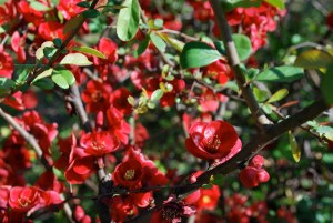 Japanese quince-01